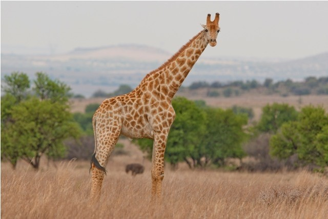 Land in Lekwena Wildlife Estate - Giraffe Standing In Kiepersol