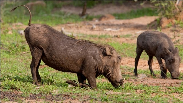 Land in Lekwena Wildlife Estate - Warthog Drinking Water