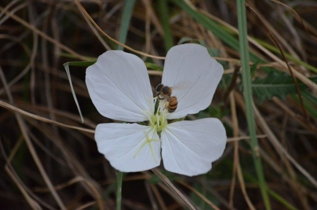 Land in Lekwena Wildlife Estate - Bee On A Evening Primrose